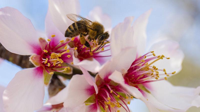 Virágport gyűjt egy méh egy mandulafa virágáról 2021. március 3-án. MTI/Varga György