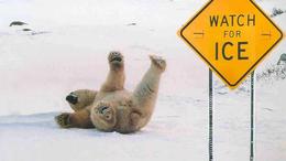 Nézzenek jegesmedvéket élőben!