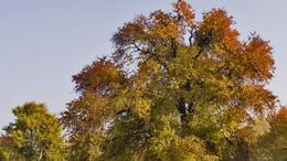 Legyen magyar az év fája!