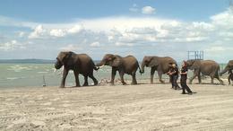 Elefántok fürödtek a Balaton parton