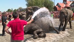 Elefántfürdetéssel indult a Cirkuszok Éjszakája Balatonlellén