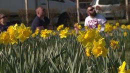Több ezren piknikeztek a nárciszok között