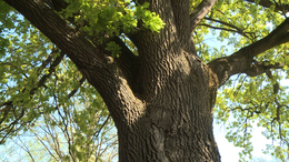 90 éves a Szabadságfa