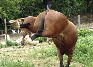 megbokrosodott ló