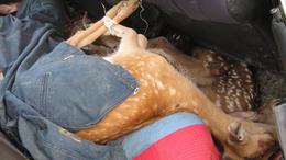 Hét összekötözött élő szarvast találtak egy Ladában