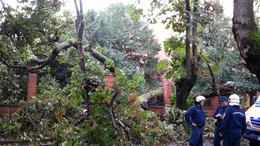 Kidőlt Kaposvár egyik legrégebbi fája