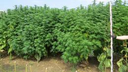 Bíróság elé állhat a marihuána-rengeteg kertésze