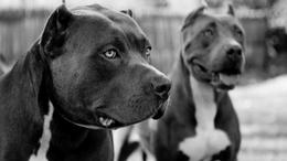 Harci kutyákkal szemben védte húgát a kis hős - a fiú súlyosan megsérült