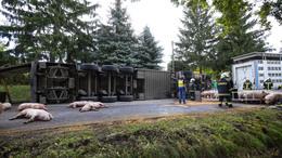 Felborult egy állatszállító kamion