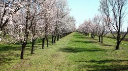 Idén már májusban szüretelhetjük a cseresznyét
