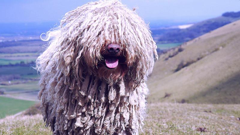 A puli az egyik őshonos magyar kutyafajta