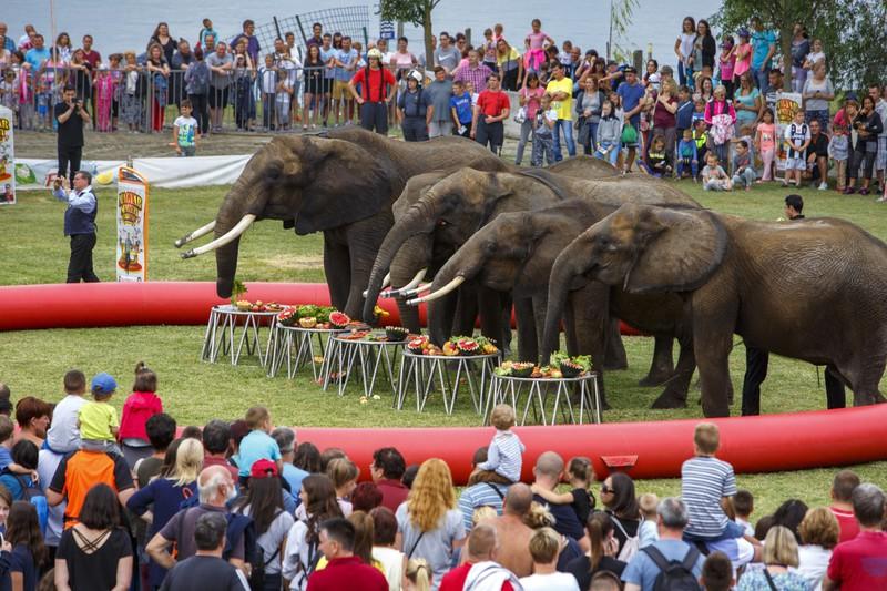 Gyümölcsöt esznek a Magyar Nemzeti Cirkusz elefánjai a Cirkuszok éjszakája rendezvényen Balatonlellén 2019. július 12-én. MTI/Varga György