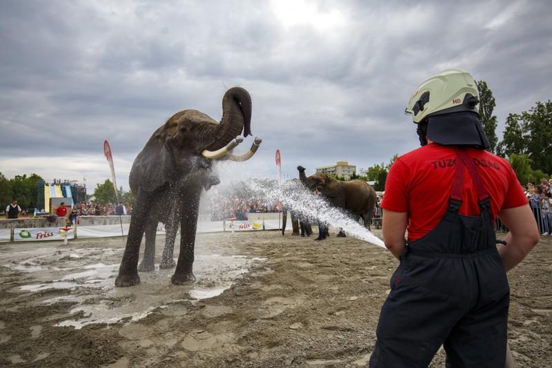 Tűzoltók fürdetik a Magyar Nemzeti Cirkusz elefántjait a Cirkuszok éjszakája rendezvényen Balatonlellén 2019. július 12-én. MTI/Varga György