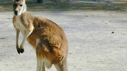 A kenguru nem is ausztrál!