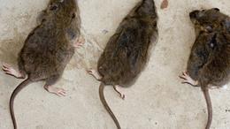 Félmilliós bírsággal fenyegetőző patkányirtókat keres a rendőrség