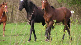 Kóbor lovak miatt dühöng a falu