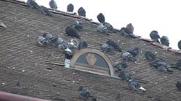 Galambok potyognak az égből Kaposváron