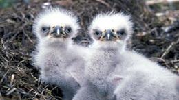 Fiókamentő infógrafikával segítenek a madárvédők