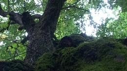 Matuzsálemi fák versenyben