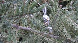 Begyűjtik a kidobott karácsonyfákat Kaposváron
