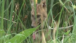 Nádi farkasok pusztítják a vadállományt