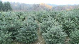 Ó, zöld fenyő: idén sem drágul a karácsonyfa