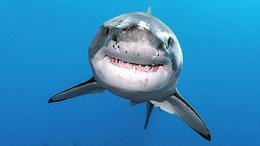 Cápát tessék, itt a frissen sült cápa!