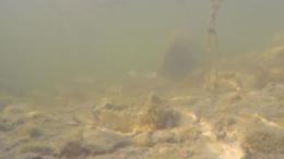 Így úsznak a halak a Balaton fenekén