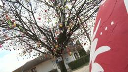 Igazi turistalátványosság lett a kéthelyi tojásfa
