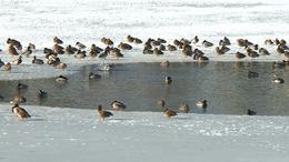 A Petörke tónál is összefogtak a kacsák