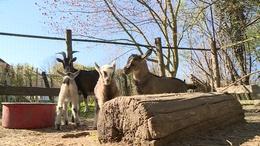Ötösiker kecskegidák születtek Várdán