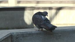 Begyűjtik a galambokat