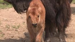 Sorra születnek a bölényborjak Kaposmérőben