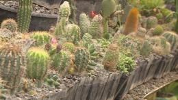 Betévedtünk a kaktuszerdőbe