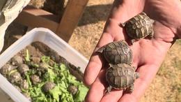 Baby boom a kőröshegyi teknősparkban