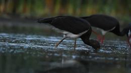 Hosszú útra készülnek a somogyfajszi fekete gólyák