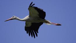Megkezdték telelésüket a magyar jeladós fehér gólyák
