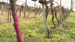 Amerikai kabóca tizedeli a somogyi szőlőket