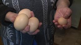 Giga tojásokat tojt egy taszári tyúk
