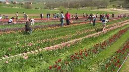 Tulipánt szüretelnek a Kőröshegyen