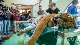 Tigrist műtött a kaposvári állatorvos