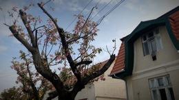 Nem ok nélkül nyirbálták meg a japán cseresznyefákat