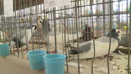 Különleges galambok és óriásnyulak Toponáron