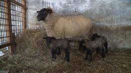 Hármas bárányikrek születtek Orciban