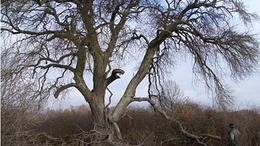 Somogyban áll az ország legnagyobb vackorfája