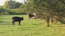 Brutális módon végeztek ki két szarvasmarhát Lengyeltótiban