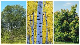 Mi legyen az év fája?