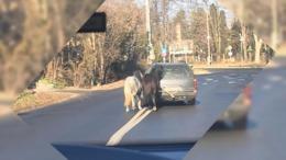 Autó után kötve szállítottak két lovat Kaposváron