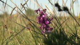 Újabb különleges növény virágzik Somogyban