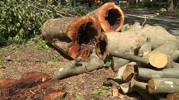 Kivágják a veszélyes fákat